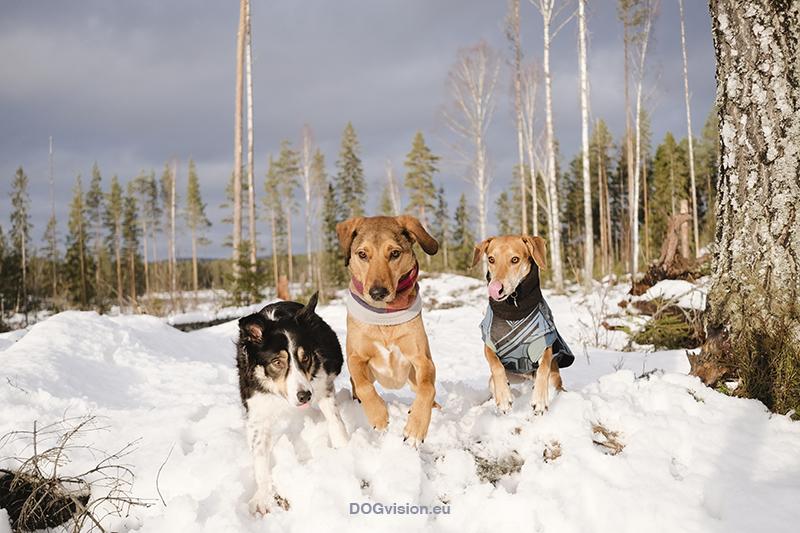#TongueOutTuesday (04), hondenfotografie Zweden, honden blog, Border Collie, wandelen met honden in Zweden. www.DOGvision.be