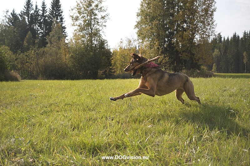 #TongueOutTuesday (40), Fenne Kustermans dog photography Dalarna Sweden, www.DOGvision.eu