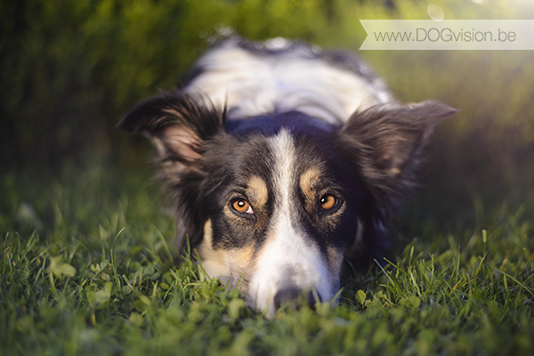 Mogwai | Border Collie | www.DOGvision.be | dog photography