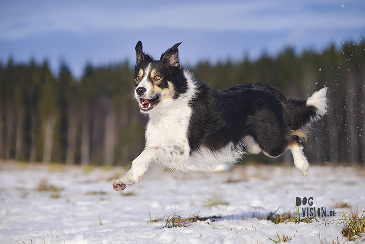 Mogwai | Border Collie | dog photography | www.DOGvision.be