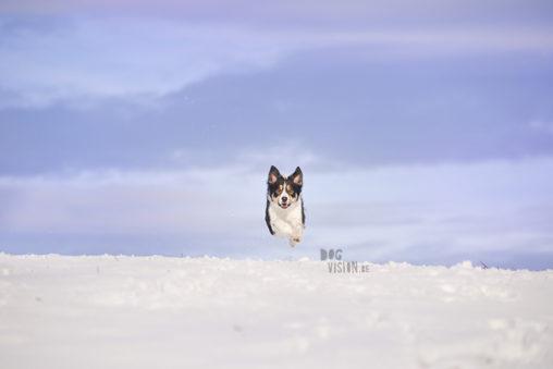Mogwai   Border Collie   dog photography   www.DOGvision.be