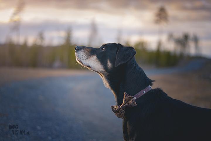 #TongueOutTuesday (18), Transylvaanse brak, Zweden, hondenfotografie, www.DOGvision.be