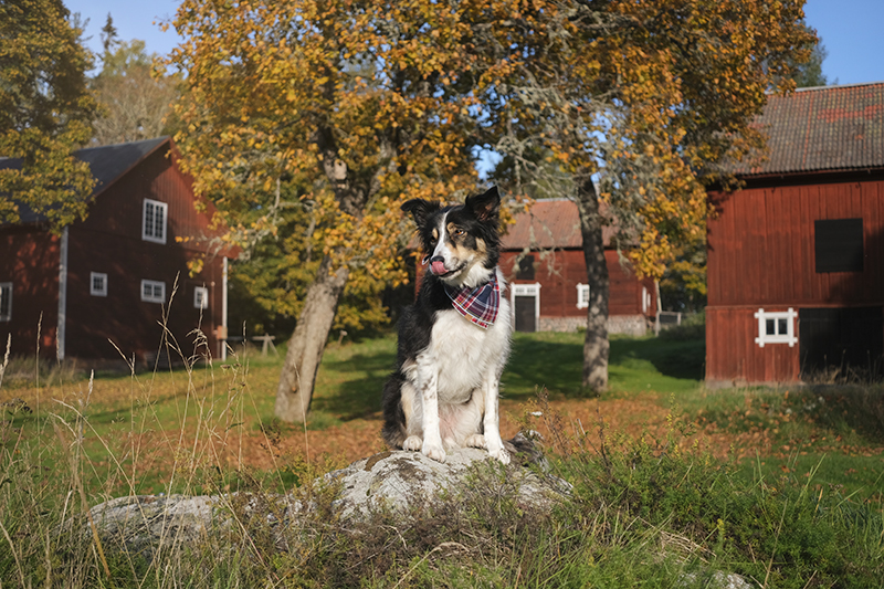 #TongueOutTuesday (39), hondenfotografie Zweden, hondenwandeling, Border Collie, rescue dogs, www.DOGvision.be