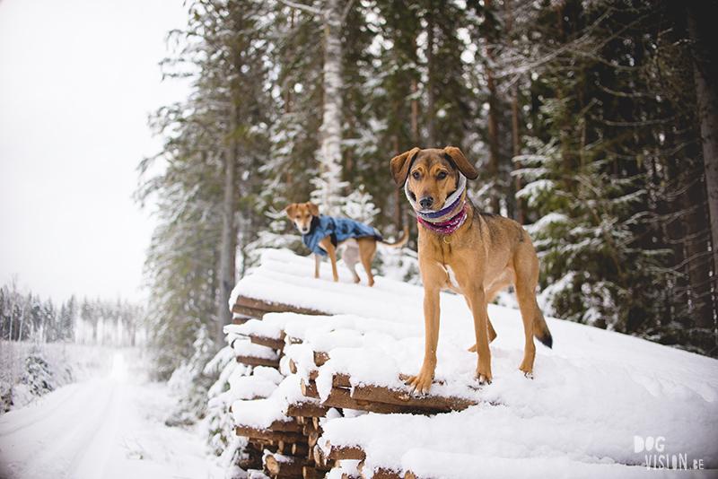 #TongueOutTuesday (49), hondenfotografie Zweden, sneeuw honden, Border Collie fotografie, www.DOGvision.be
