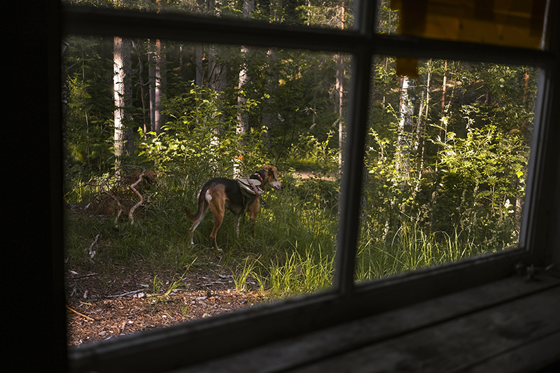Small red cabin, Border Collie Mogwai, adventure dogs, dog summer story, dogvision dog photography Europe Sweden
