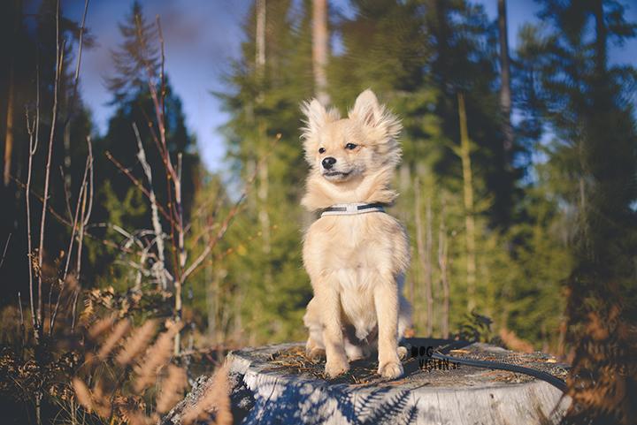 #TongueOutTuesday (44)   Pomeranian x Papillon mix   dog photography   www.DOGvision.eu   hondenfotografie