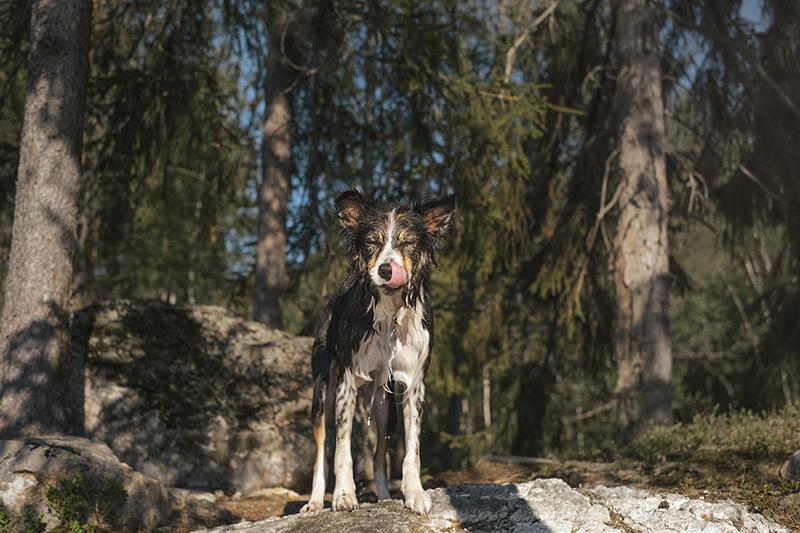 Hondenfotografie Dalarna Zweden, Border Collie, wandelen met honden in Zweden, honden op avontuur, Instagram honden, www.DOGvision.be