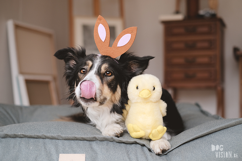 Fotoproject honden #tongueOutTuesday, Border Collie Mogwai, Paasfoto hond, www.DOGvision.be