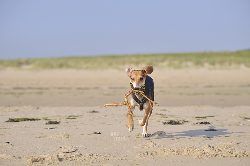 Honden aan zee in Nederland, adoptie hond uit Griekenland, hondenfotografie en blog op www.dogvision.be