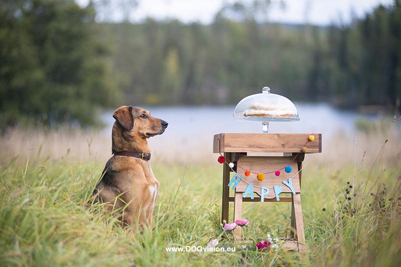 Honden fotografie, honden verjaardag, verjaardagscake voor honden, rescue dog Oona, Dalarna Zweden, www.DOGvision.be