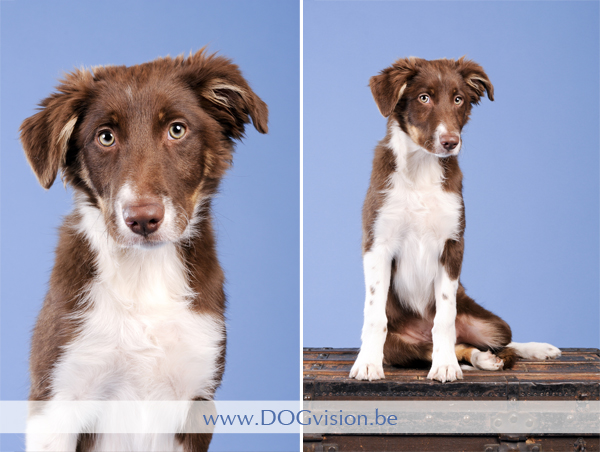 Beat, Border Collie | www.DOGvision.be {Dog Photography}