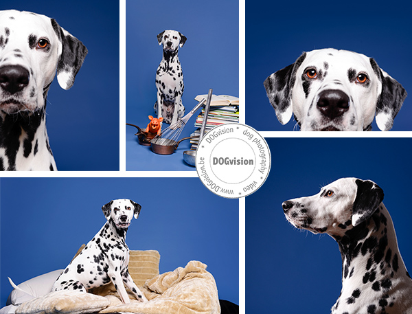 Butch | Dalmatian | www.DOGvision.be | dog photography | Belgium