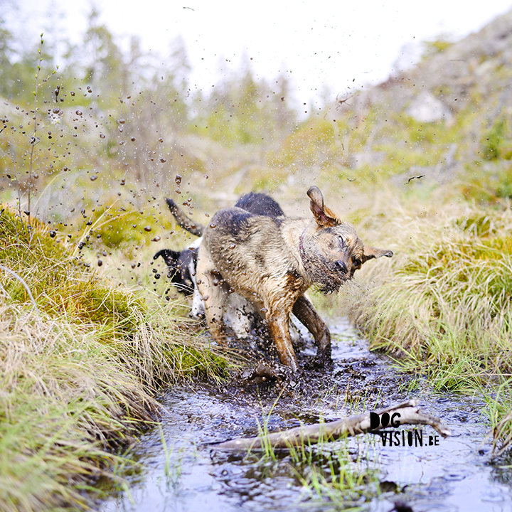 Muddy dogs found a mini pool | Border COllie and rescue mutt | www.DOGvision.be