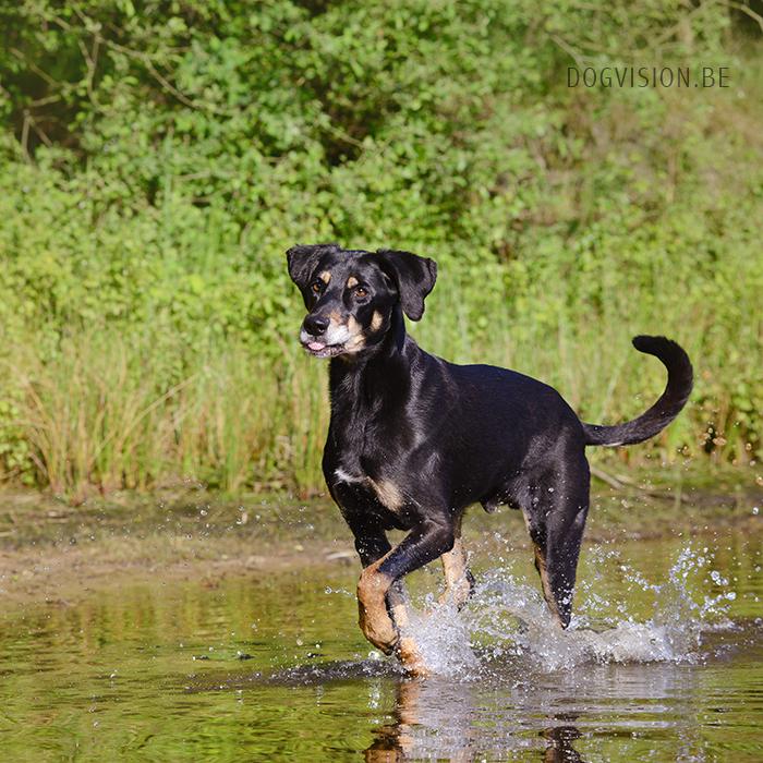 #TongueOutTuesday (28)| Ravasz | Erdélyi Kopó | www.DOGvision.be | dog photography