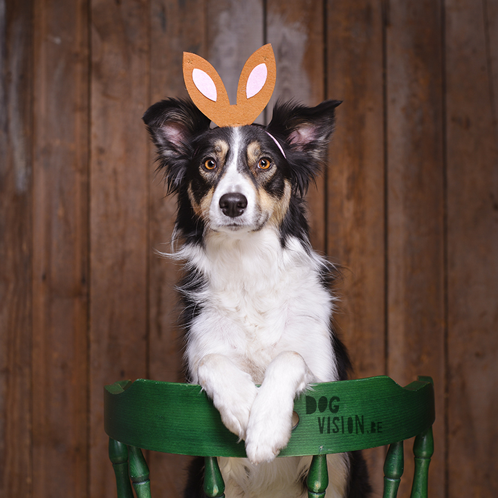 Easter dog Mogwai | Border Collie | www.DOGvision.be