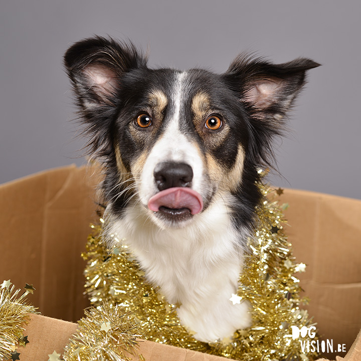 #TongueOutTuesday (54) | www.DOGvision.be | MOgwai Border Collie | Christmas