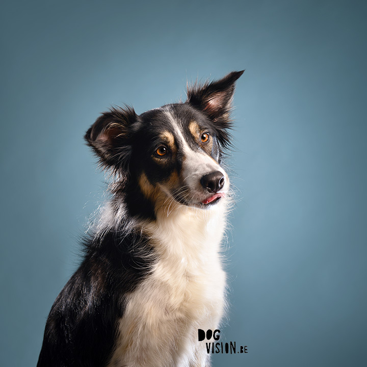 #TongueOutTuesday (08) | Border Collie | www.DOGvision.be