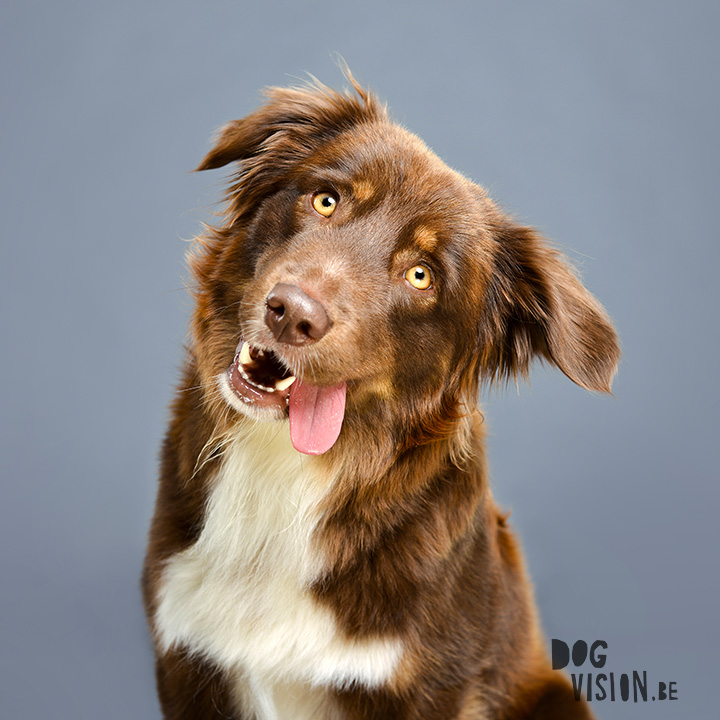 #TongueOutTuesday (05) | www.DOGvision.be | Australian Shepherd