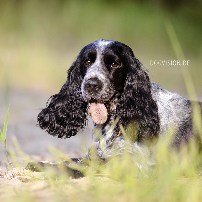 Mara | Cocker Spaniel | DOGvision.be | Dog photography | #TongueOutTuesday (32)