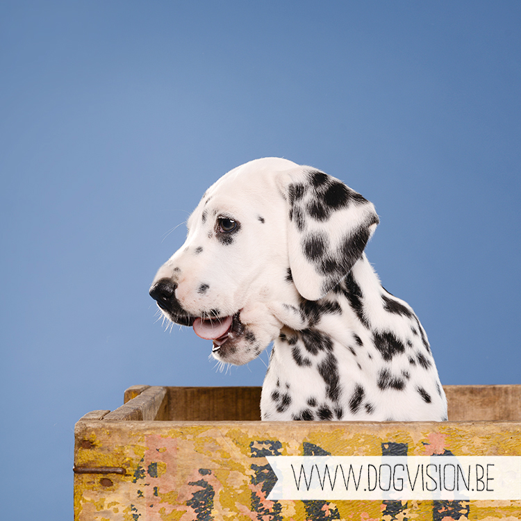 #TongueOutTuesday (29) | Dalmatian puppy | www.DOGvision.be | dog photography