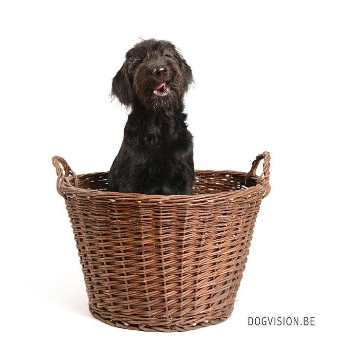 Oya Labradoodle | www.DOGvision.be | dog photography