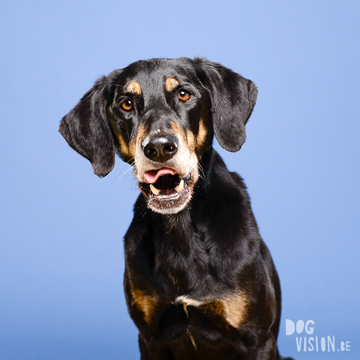 #TongueOutTuesday (03) | www.DOGvision.be | dog photography