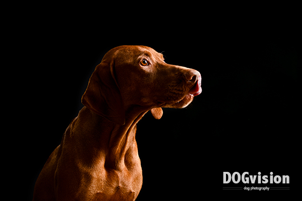 Irko | Vizsla | www.DOGvision.be | dog photography