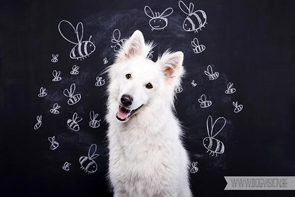 Jixus | www.DOGvision.be |  White Shepherd