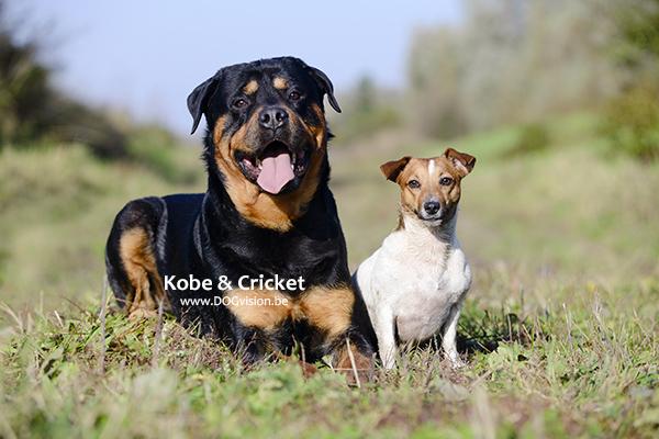 Kobe-Cricket | www.DOGvision.be | Rottweiler & jack Russel terrier | hondenfotografie