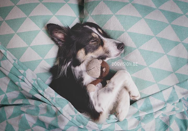 Sleeping Mogwau | Border Collie | DOGvsion.be | dog photography