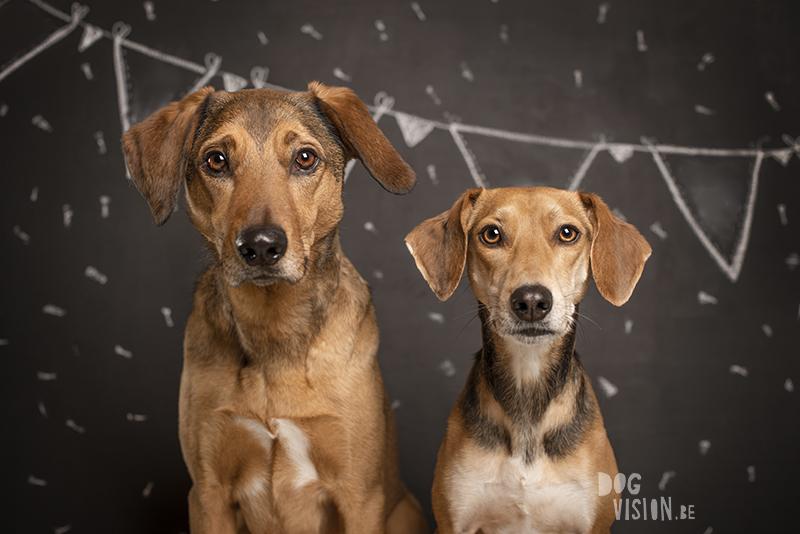 Birthday dog, Tricolor Border Collie, birthday photoshoot, krijtverf, verjaardags fotoshoot, www.DOGvision.eu