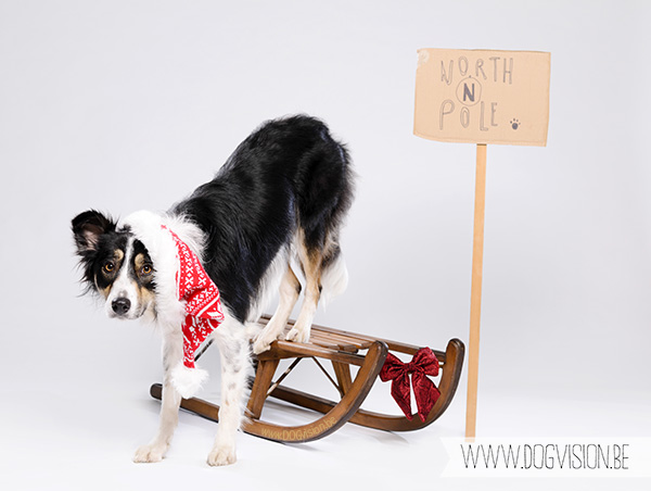 Christmas Border Collie | www.DOGvision.be | dog Photography