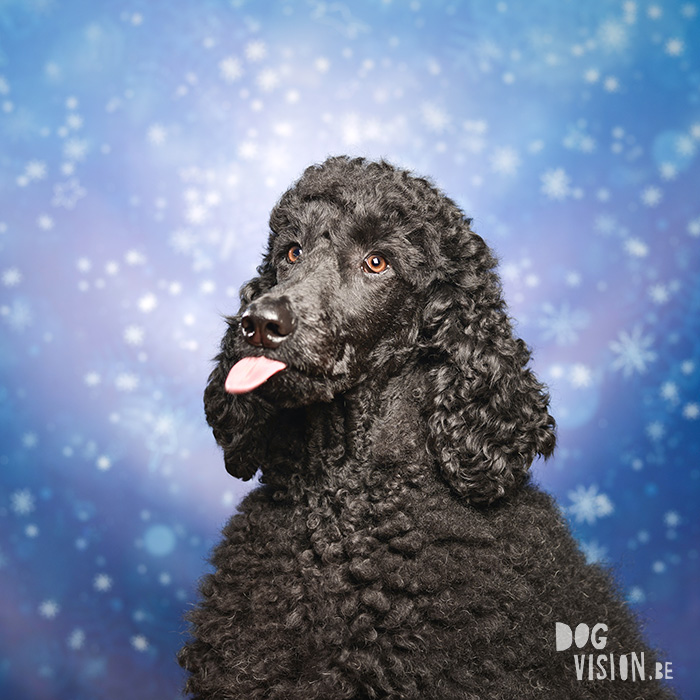 #TongueOutTuesday (09) | Poodle | www.DOGvision.be | dog photography