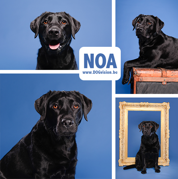 NOA | Labrador retriever | DOGvision.be | dog photography