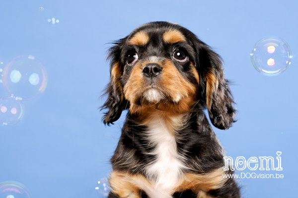 Noemi | www.DOGvision.be | dog photography | Cavalier King Charles Spaniel
