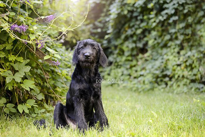 Oya | labradoodle | Assistance dog | DOGvision.be | Dog photography