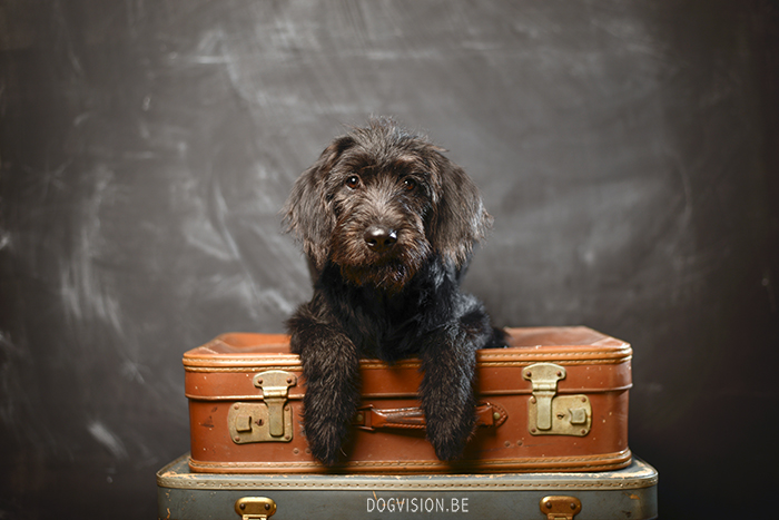 Oya: Labradoodle : www.DOGvision.be | dog photography