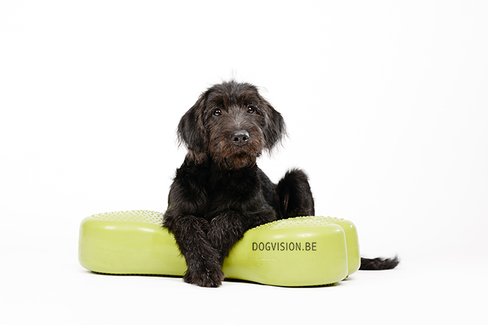 Oya | Labradoodle | www.DOGvision.be