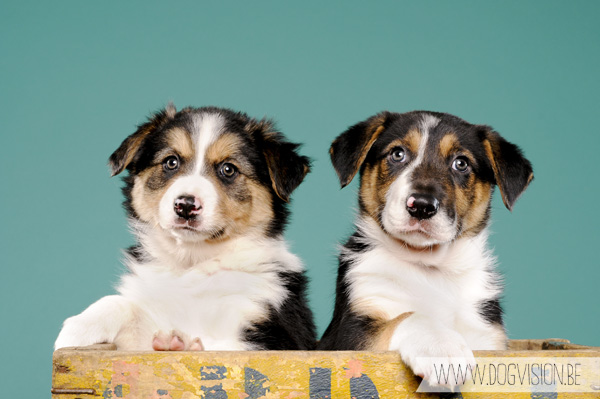 Puppy cuteness | www.DOGvision.be | dog photography | Border Collie