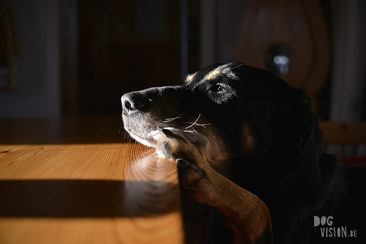 Ravasz | indoor honden fotograferen | www.DOGvision.be