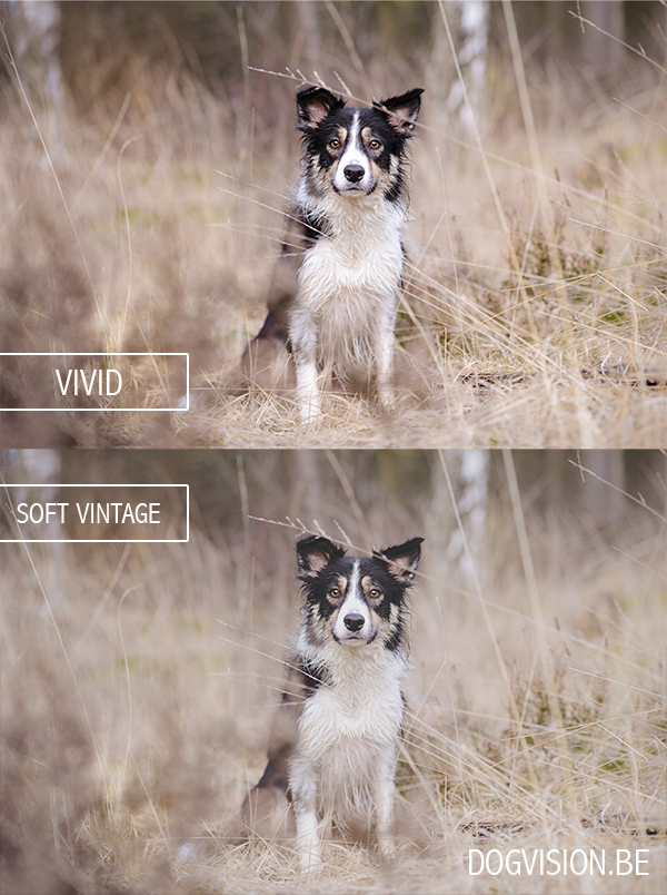 Soft vintage and vivid effect with photoshop | www.DOGvision.be | dog photography