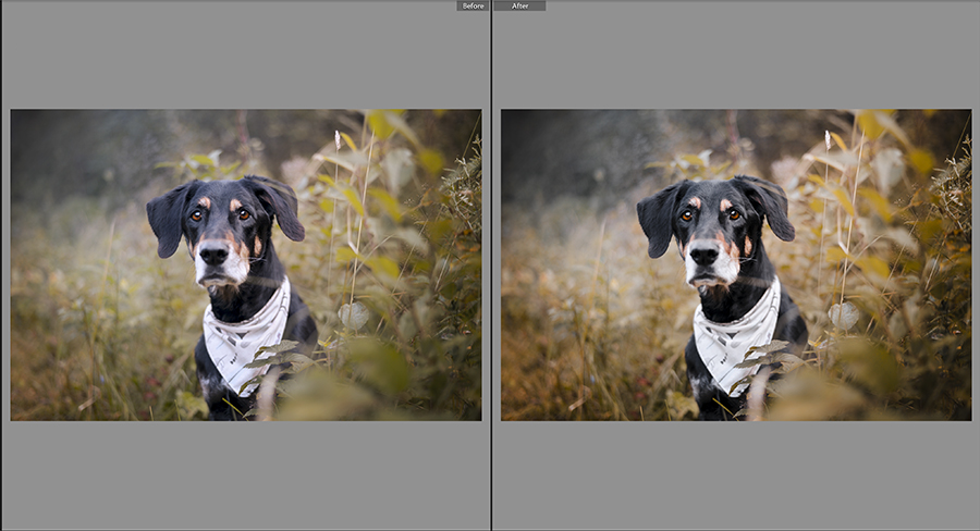 Lightroom presets for dog photography, autumn collection | www.DOGvision.be