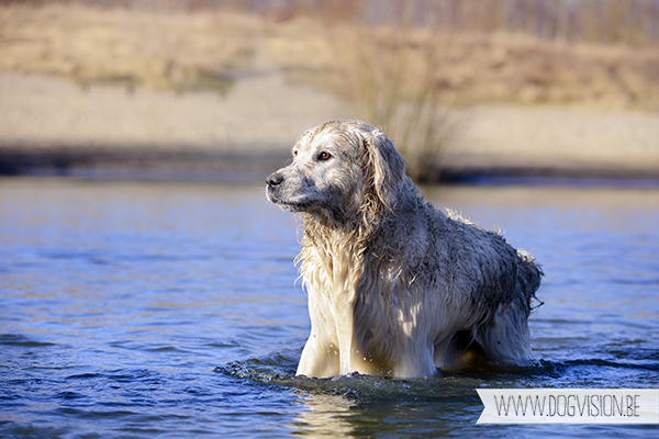 Sultan | Golden retriever | www.DOGvision.be | dog photography