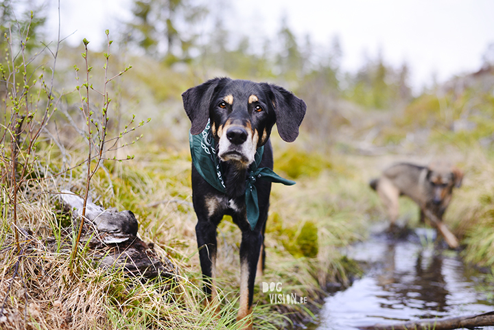 Transylvanian hound and muddy mutt puppy | dog photography tips and tricks on www.DOGvision.be
