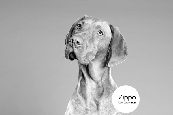 Zippo   www.DOGvision.be   Vizsla