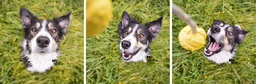 #TongueOutTuesday (20) | Hondenfotografie DOGvision | www.DOGvision.be