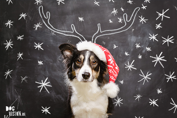 Christmas Border Collie | ww.DOGvision.be