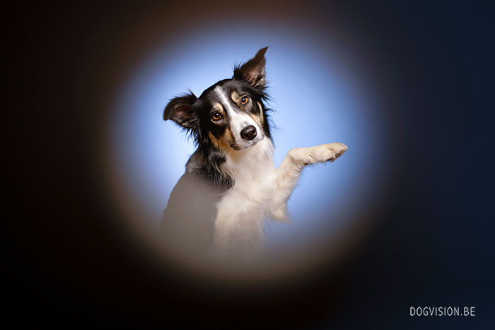 Mogwai - Border Collie | www.DOGvision.be | dog photography