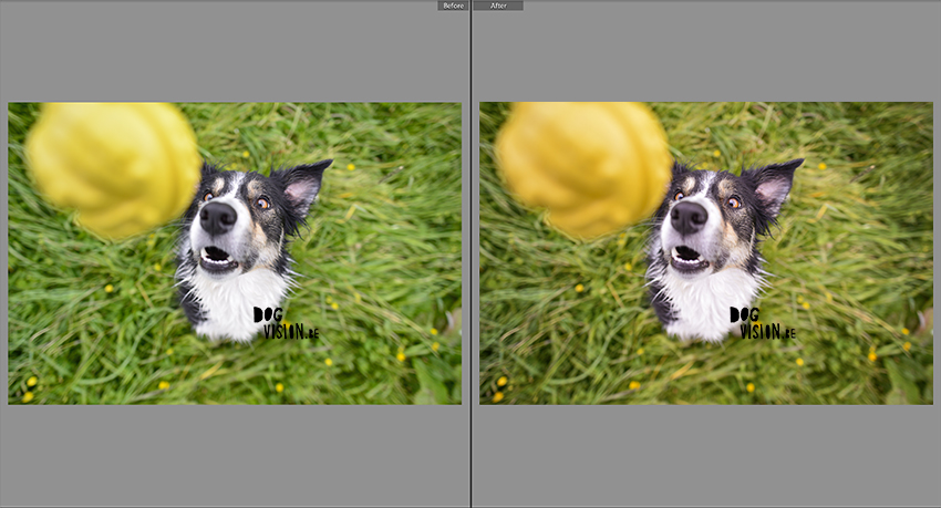 Editing dog photography in Lightroom | tips & tricks | www.DOGvision.be