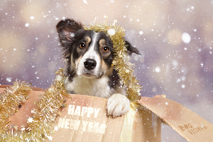 Happy New Year! | Mogwai Border Collie | www.DOGvision.be | dog photography
